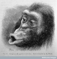 Chimpanzee looking tired and sulky. Drawn from life by Mr. Wood.